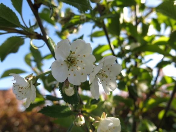 8 maj 15 surkörsbär fanal blommor