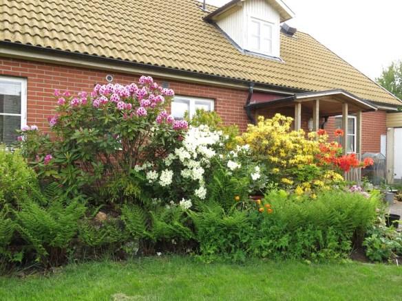 1 juni 15 torvrabatt azalea rhododendron 2