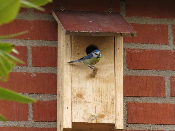 1 juni 15 torvrabatt blåmes fågelholk fågel