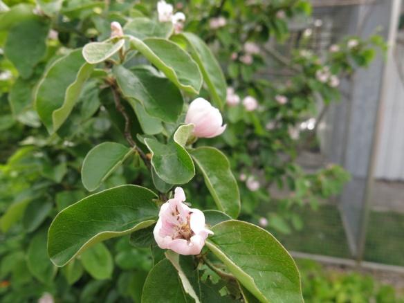 1 juni 15 trädhörnet kvitten blom 2