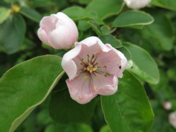 1 juni 15 trädhörnet kvitten blom