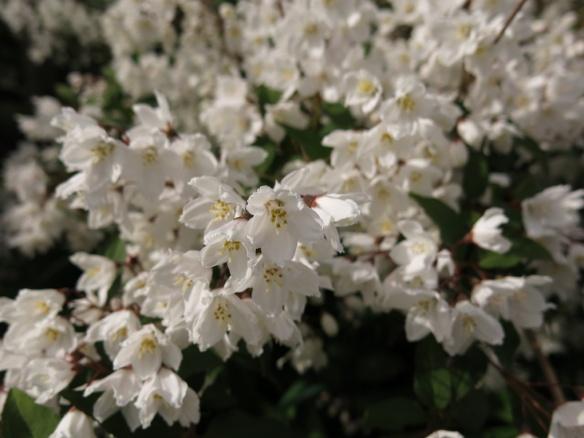 1 juni 15 trädhörnet vit buske vid ullungrönn