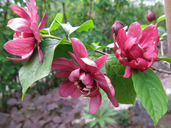 13 juni 15 trädgårdskryddbuske 1