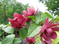 13 juni 15 trädgårdskryddbuske 3