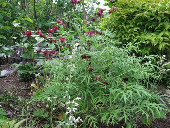 13 juni 15 trädgårdskryddbuske pion delavayi 1