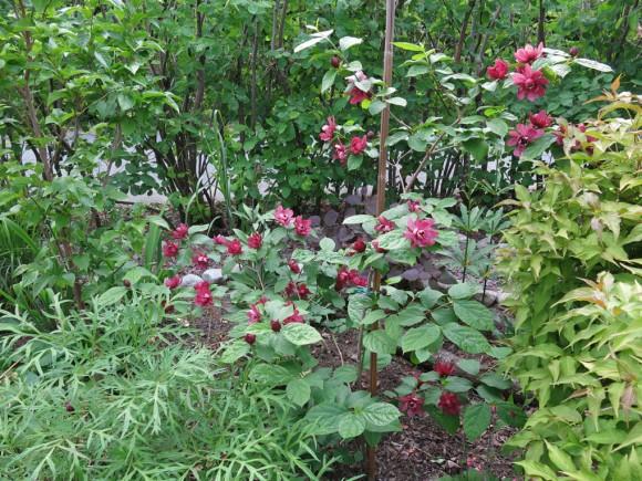 13 juni 15 trädgårdskryddbuske pion delavayi 2
