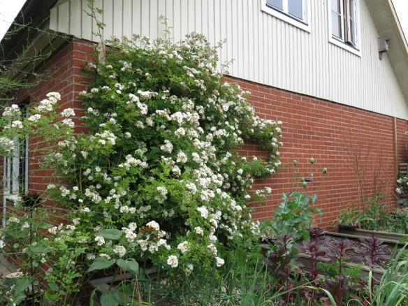 12 juli 15 honungsros trädgårdsland östervägg