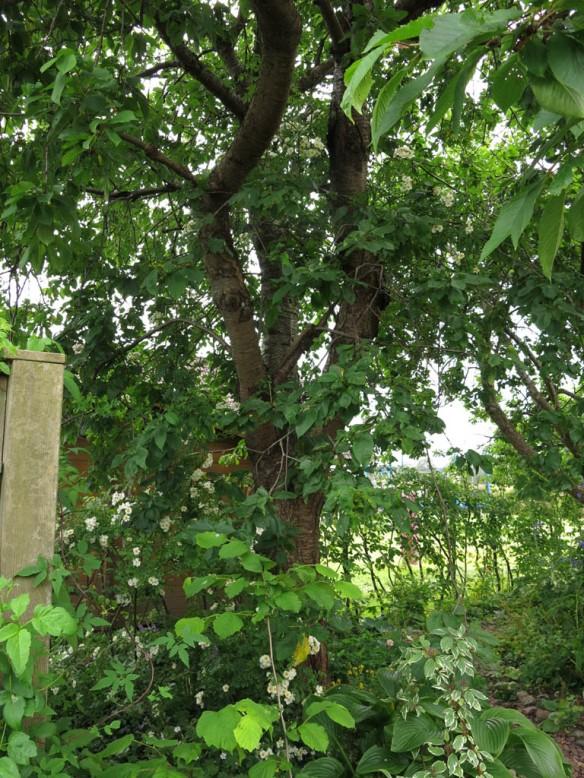 12 juli 15 hunungsros lundområdet bigarråträd 1