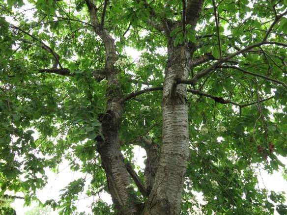 12 juli 15 hunungsros lundområdet bigarråträd 3