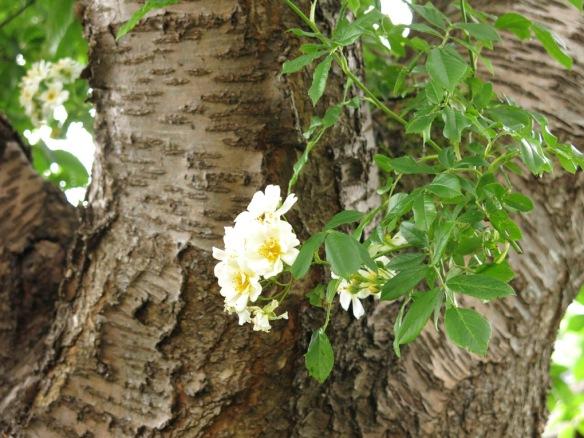 12 juli 15 hunungsros lundområdet bigarråträd 4