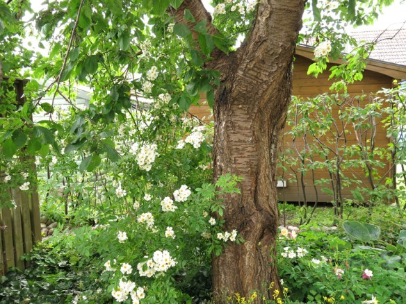 12 juli 15 hunungsros lundområdet bigarråträd 5