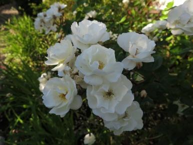 30 juni 15 ros spaljérabatt moonlight 2