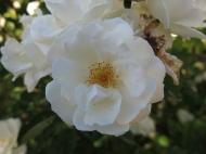 30 juni 15 ros spaljérabatt moonlight 3