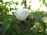 30 juni 15 ros spaljérabatt moonlight 4