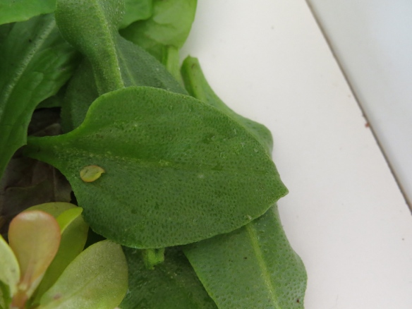 juli 15 sallad bladgrönt 5