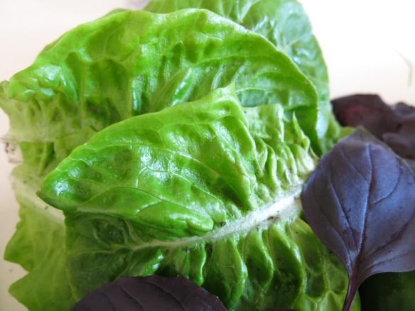 juli 15 sallad bladgrönt 7