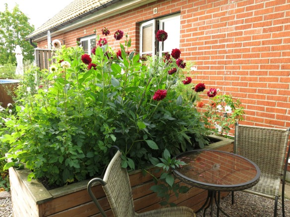 15 aug 15 dahlior rosenskära 1