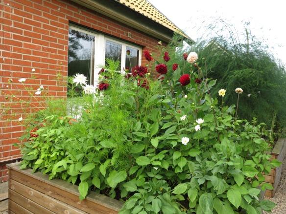 15 aug 15 dahlior rosenskära 2
