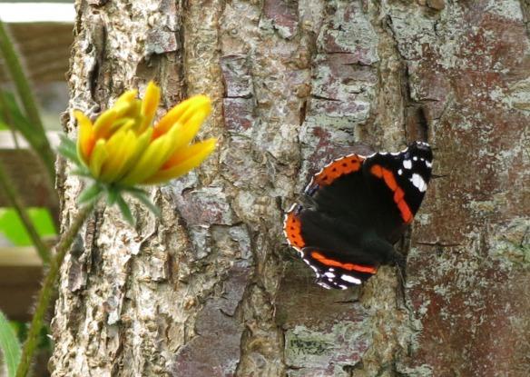 15 aug 15 fjäril pärlemorfjäril