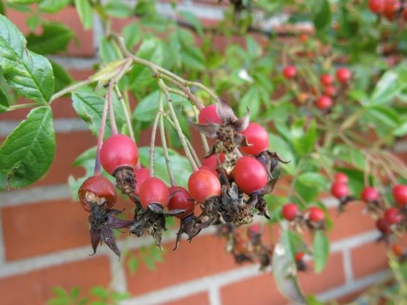 19 sep 15 rosa helenae honungsros