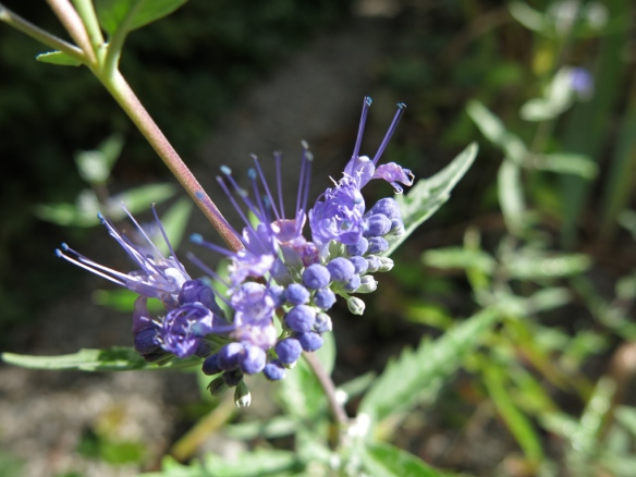 6 sep 15 Skäggbuske Caryopteris xclandondensis 'Heavenly Blue'