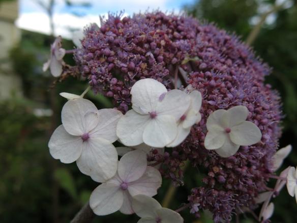6 sep 15 Strävhortensia, Hydrangea aspera 'Macrophylla'