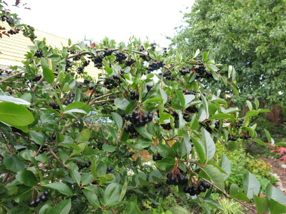 8 sep 15 aronia viking