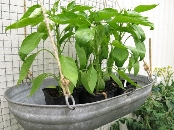 12 juli 15 paprika såbrätte växthus