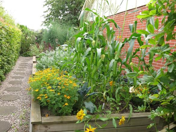 15 aug 15 trädgårdsland skörd