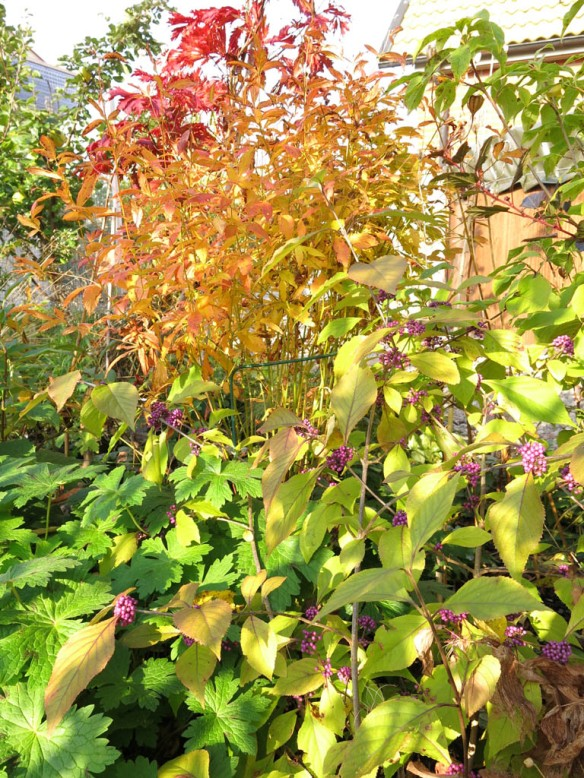 18 okt 15 glasbärsbuske trädhörnet