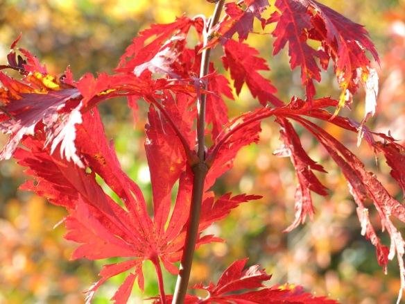 18 okt 15 japansk solfjäderlönn