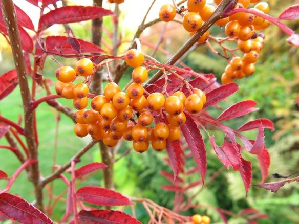 18 okt 15 rönn autumn spire