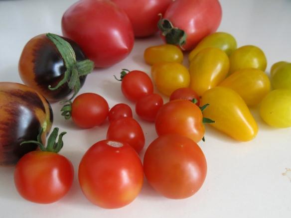 23 aug 15 tomatskörd
