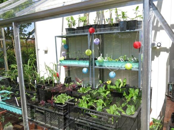 24 maj 15 växthus frösådder