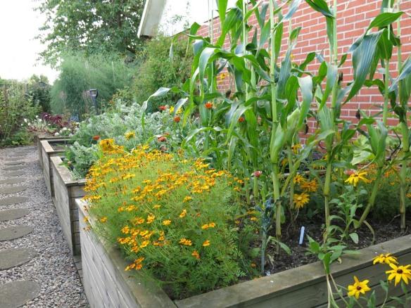 sep 15 trädgårdslandet majs tagetes svartkål