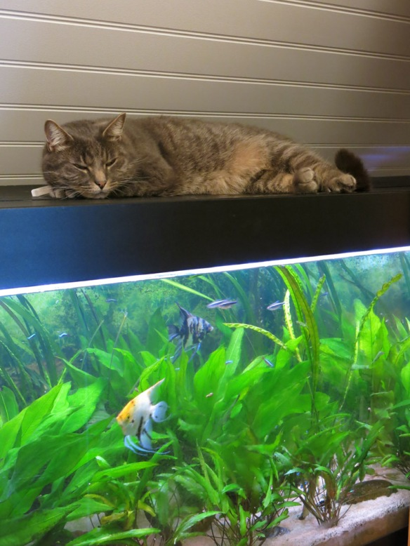22 nov 15 katt på akvarium
