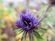 8 nov 15 lila höstaster stäpprabatt