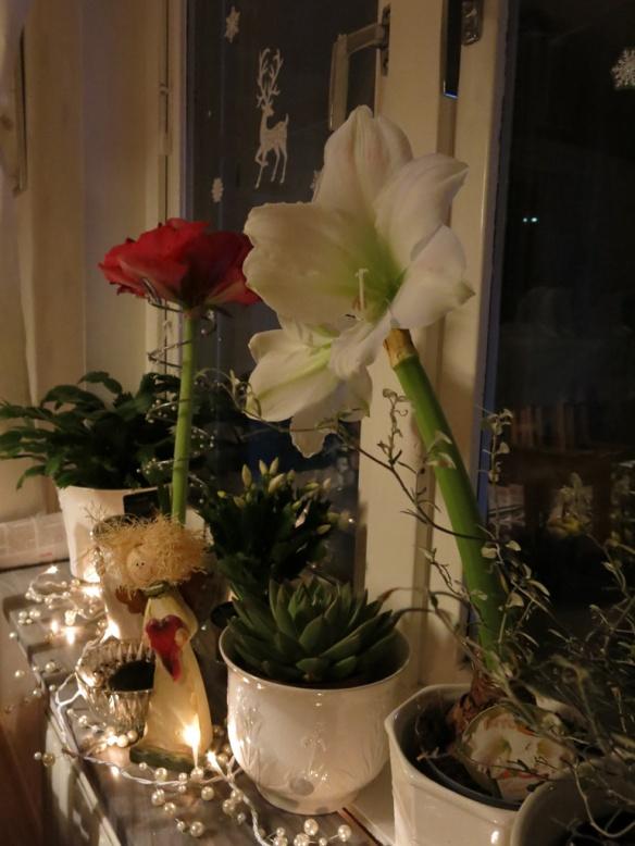 11 dec 15 julfönster amaryllis