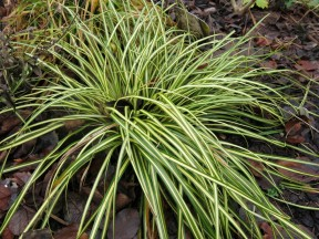 20 dec 15 carex evergold gräs