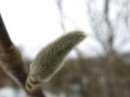 Magnoliaknopp
