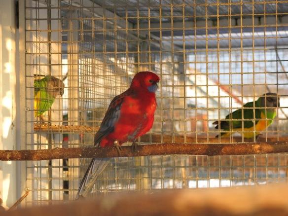 13 feb 16 fåglar pennant rosella 1