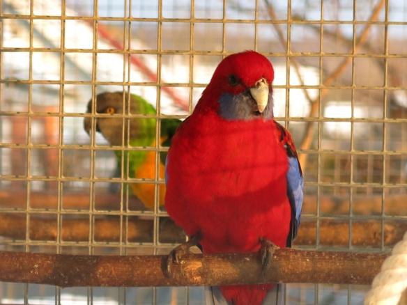 13 feb 16 fåglar pennant rosella 2