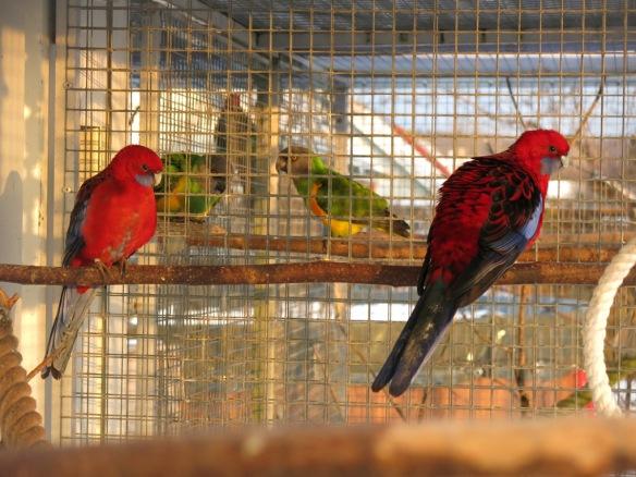 13 feb 16 fåglar pennant rosella 3