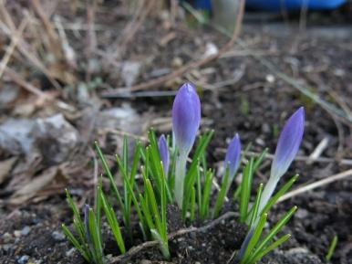 12 mars 16 krokus lila 2
