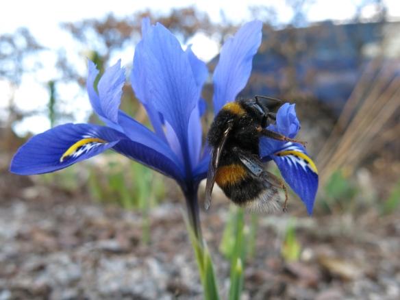 20 mars 16 blå iris humla