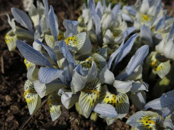 20 mars 16 iris katharine hodgkin