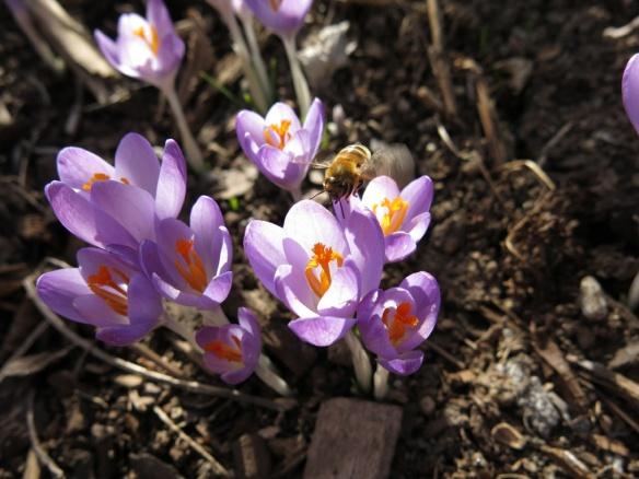 20 mars 16 krokus skära rabatten bin 2