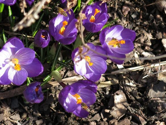 26 mars 16 lila krokus bin