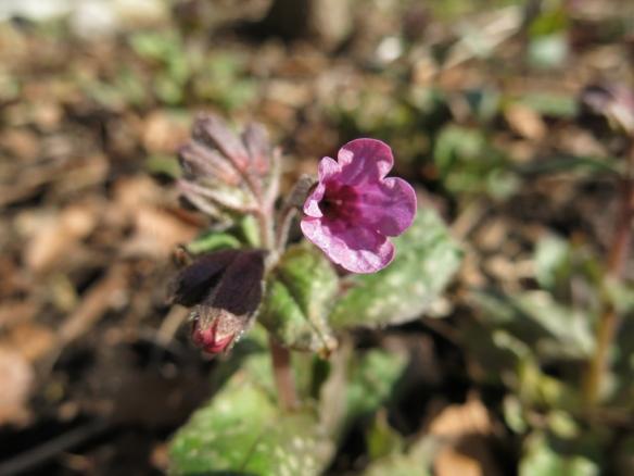26 mars 16 rosa lungört