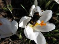 26 mars 16 vit krokus humla 2